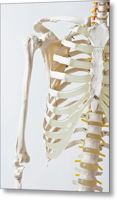 Midsection Of An Anatomical Skeleton Model Metal Print by Rachel de Joode