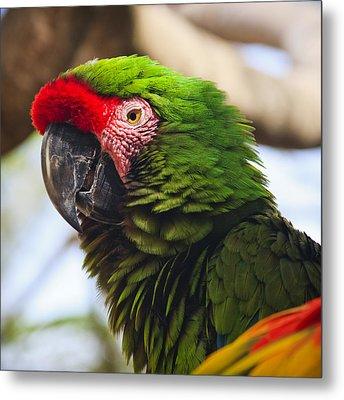 Military Macaw Parrot Metal Print by Adam Romanowicz