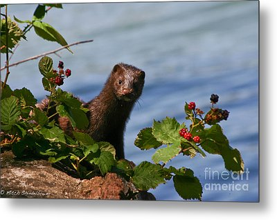 Metal Print featuring the photograph Mink In Blackberries. by Mitch Shindelbower
