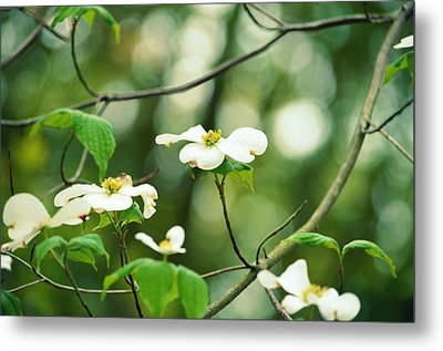 Miracle Of The Dogwood Metal Print by Robin Dickinson