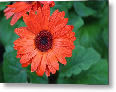 Metal Print featuring the photograph Miss Daisy by Bob Whitt
