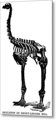 Moa Skeleton Metal Print by Granger