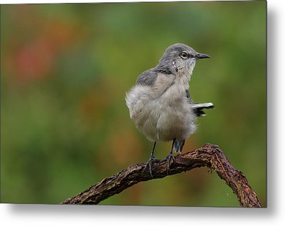 Metal Print featuring the photograph Mocking Bird Perched In The Wind by Daniel Reed