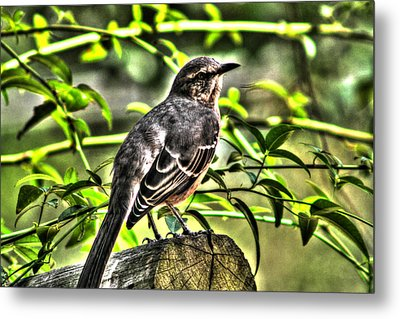 Mocking Bird Picture 2 Metal Print by Ester  Rogers