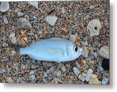 Mojarra On Sea Shells Metal Print by Ken  Collette