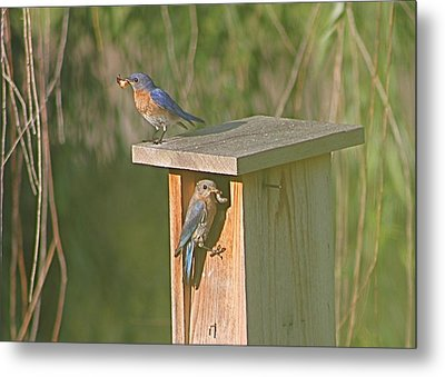Mom And Dad Bluebird Bringing Home Lunch Metal Print