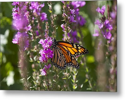 Monarch 2 Metal Print