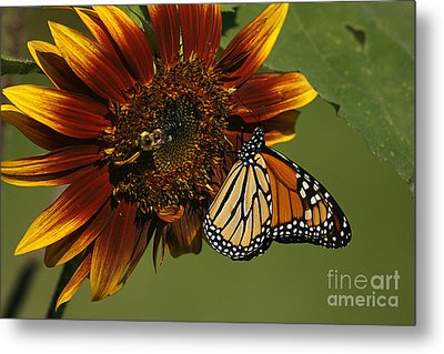 Monarch And The Bee Metal Print