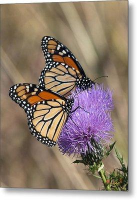 Monarch Butterflies On Field Thistle Din162 Metal Print by Gerry Gantt