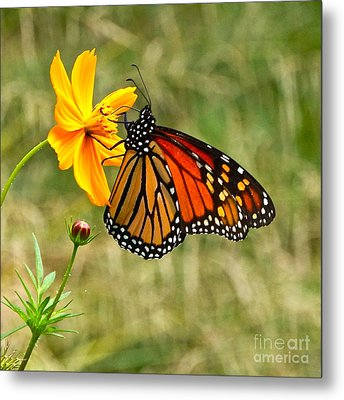 Monarch Butterfly And Yellow Cosmos Metal Print by Byron Varvarigos