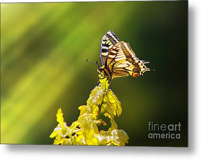Monarch Butterfly Metal Print by Carlos Caetano