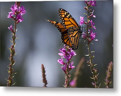 Monarch Butterfly Metal Print by Michel DesRoches