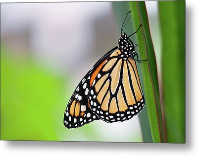 Monarch Butterfly On Leaf Metal Print by Pndtphoto