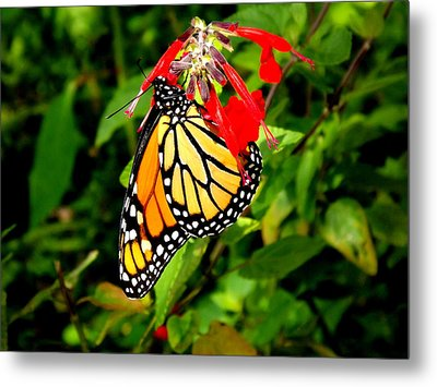Metal Print featuring the photograph Monarch Butterfly On Red Flowers by Jodi Terracina