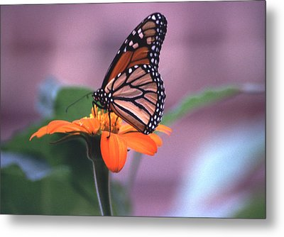 Metal Print featuring the photograph Monarch Butterfly On Tithonia Sunflower by Tom Wurl