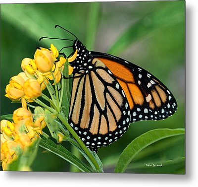 Monarch Butterfly Metal Print by Susi Stroud
