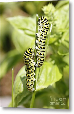 Monarch Caterpillars Metal Print by Denise Pohl