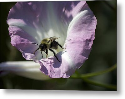 Morning Bumblebee Metal Print
