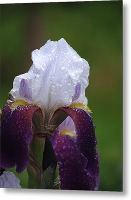 Morning Dew Iris Metal Print by Rebecca Overton