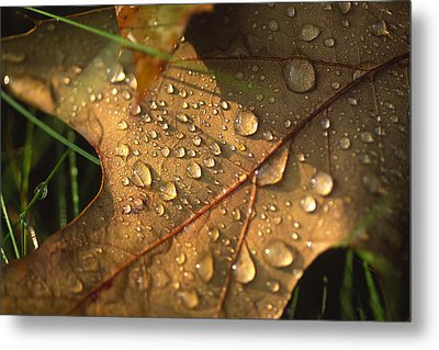 Morning Dew On Oak Leaf Metal Print