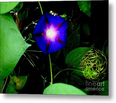 Morning Glory Glory Metal Print by Marilyn Magee