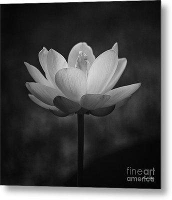 Morning Lotus Metal Print by Scott Pellegrin