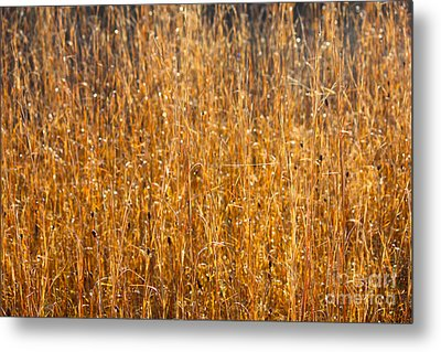 Morning Sunshine On The Marsh Metal Print by Carol Groenen