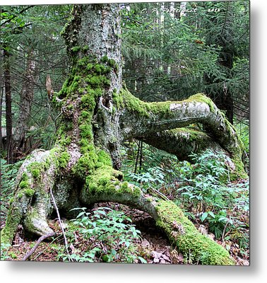 Moss Covered Tree Roots Metal Print
