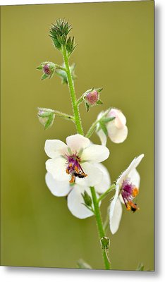Metal Print featuring the photograph Moth Mullein by JD Grimes