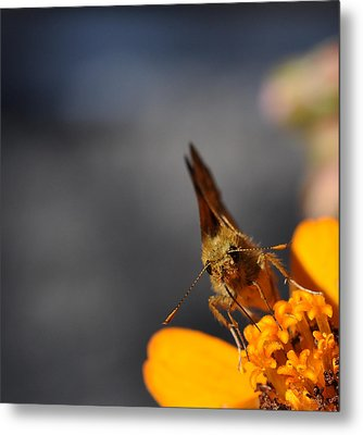 Metal Print featuring the photograph Moth On A Zinnia Blossom by Ronda Broatch