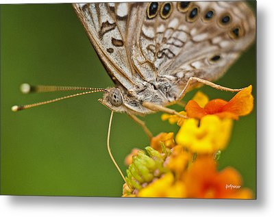 Moth On Flower Clusters Metal Print