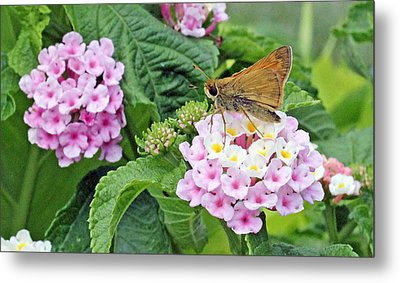 Moth On Lantana Metal Print by Becky Lodes