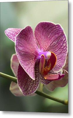 Moth Orchid Curvation Metal Print by Bill Tiepelman