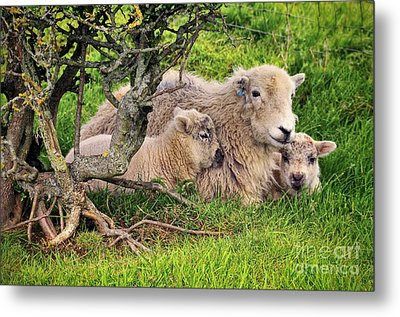 Mother And Babies Metal Print by Jason Connolly