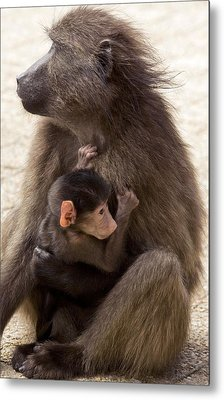 Mother And Baby Chacma Baboon Metal Print by Bob Gibbons