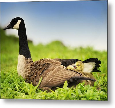 Mother Goose And The Loud One Metal Print by Vicki Jauron