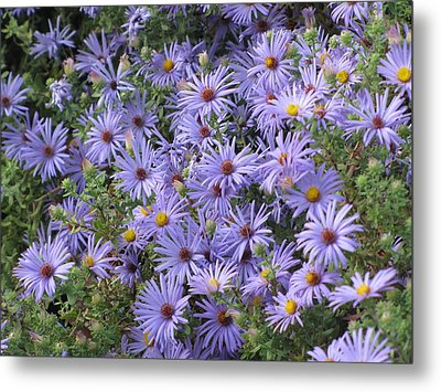 Metal Print featuring the photograph Mother's Asters by Shawn Hughes