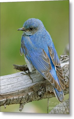Mountain Bluebird Metal Print by Doug Herr