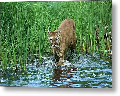 Mountain Lion Puma Concolor Wading Metal Print by Konrad Wothe