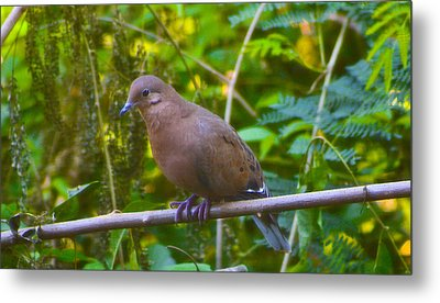Mourning Dove Cooling Out Metal Print by David Alexander