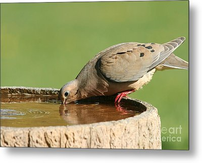 Metal Print featuring the photograph Mourning Dove by Jack R Brock