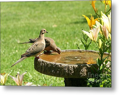 Metal Print featuring the photograph Mourning Doves by Jack R Brock