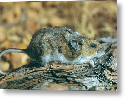 Mouse On A Log Metal Print by Photo Researchers, Inc.