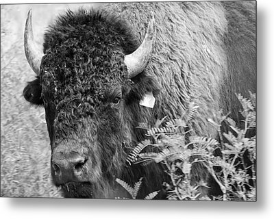Mr Goodnight's Bison Metal Print by Melany Sarafis