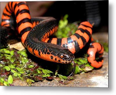 Mud Snake Metal Print by Griffin Harris