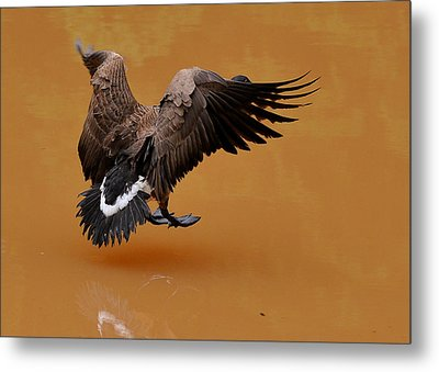 Muddy Pond Hover Landing Goose  - C4558d  Metal Print by Paul Lyndon Phillips