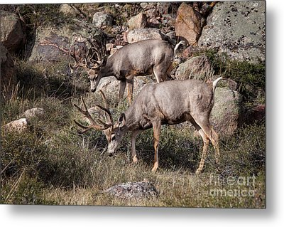 Mule Deer Bucks Metal Print