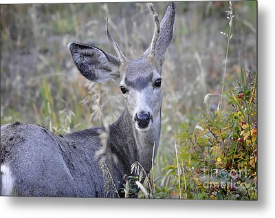 Metal Print featuring the photograph Mule Deer On Fall River by Nava Thompson