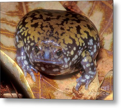 Mullers Termite Frog Metal Print by Dante Fenolio