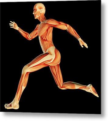 Muscular System Metal Print by Pasieka